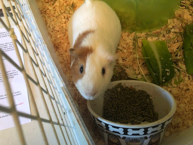 bpla_Cornelius and rusty_guinea pigs3